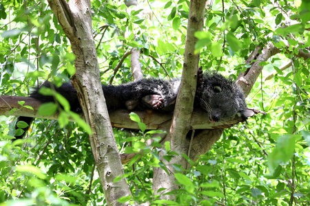 Binturong or Bearcat, the bear in thailand zoo
