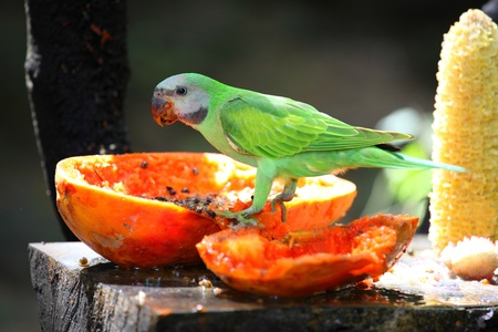 The parrot   Psittacus torquata   Stock Photo - 13573154