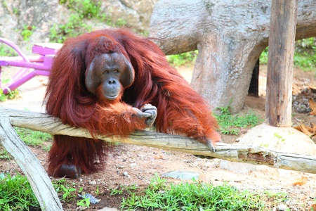 simia troglodytes: Male orangutan is watching and thinking