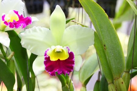 Hybrid-white  cattleya orchid flower  Stock Photo - 13573160