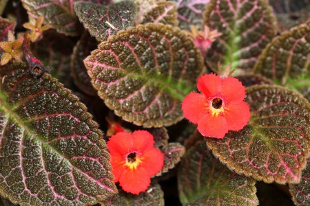 oft: The close up of red Episcia