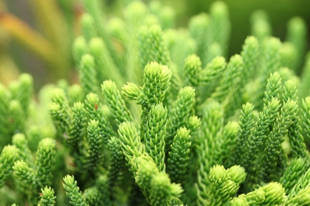 pinaceae: Close up  Pinaceae, Pinus canariensis, pine tree