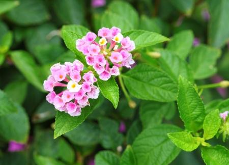 linn: Pink  Lantana camara, Linn  is blooming Stock Photo