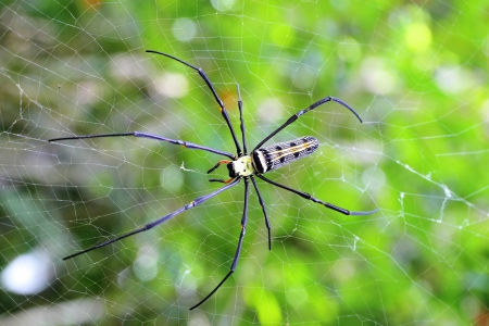 Golden orb-weaver Spider  Nephila plumipes  in web showing top view   Stock Photo - 13732465