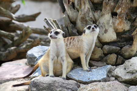 Two meerkat  Suricata suricatta  are watching the enemies Stock Photo - 13732484
