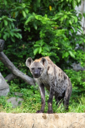 Hyena are stare at us with forest background Stock Photo - 13732464