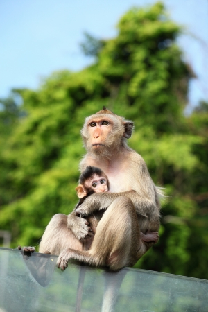 Monkey  Long-Tailed Macaque  with her sweet baby