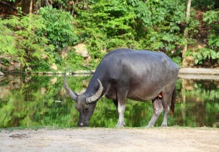 Water buffalo  Local Thailand buffalo  photo