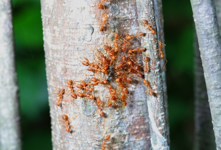Red ant are fighting with black ant  photo