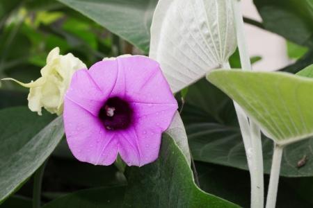 The flower of Argyreia Nervosa  Stock Photo - 13799605