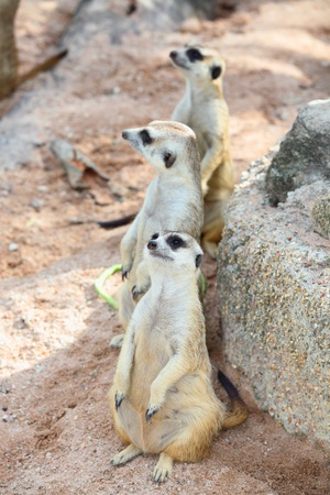 Three meerkats  Suricata suricatta  are watching the enemies