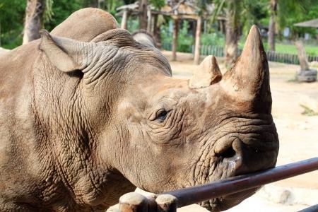Close up of Large white  square-lipped  rhinoceros  Ceratotherium simum Stock Photo - 13799959
