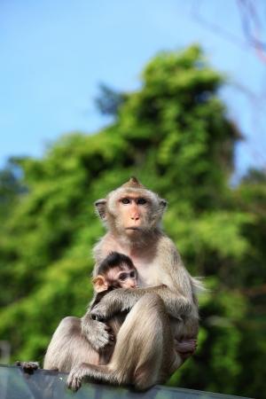macaque: Singe Macaque � longue queue avec son b�b� doux