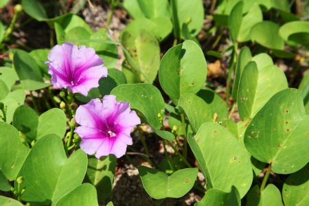 pes caprae: The   Ipomoea pes-caprae  are blooming on the beach Stock Photo
