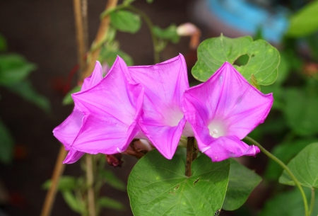 The close up of blooming Morning Glory flower Stock Photo