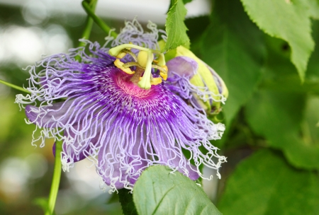 The close up of  Passion Flower   or  Passiflora laurifolia Linn   photo