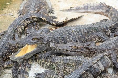 Opening mount crocodile in the zoo Stock Photo - 13855184