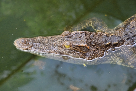 Close up crocodile while in the pool Stock Photo - 13855182