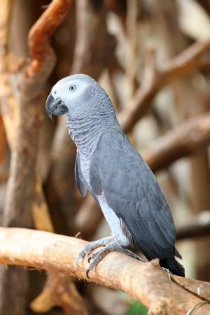 Portrait of an Congo African Grey Parrot  Psittacus erithacus erithacus   photo
