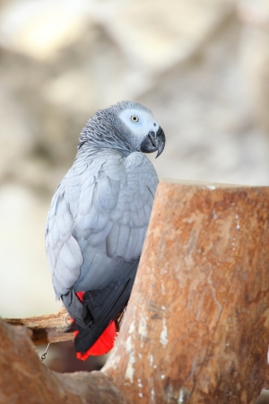 Portrait of an Congo African Grey Parrot photo