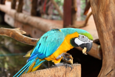 Blue   Gold Macaw is eating the banana  photo