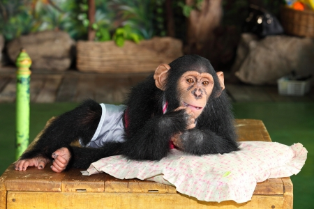 clowning: Chimpanzee is acting for portrait