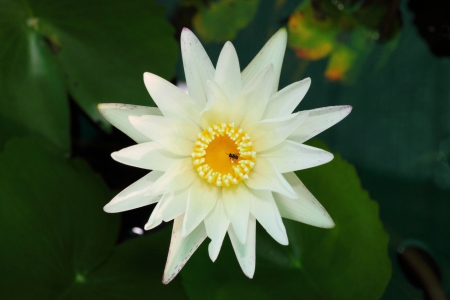 Close up of white water lily in top view photo