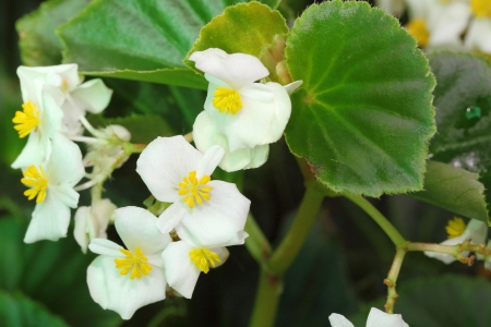 Close up of white Begonia flower blooming in the garden photo