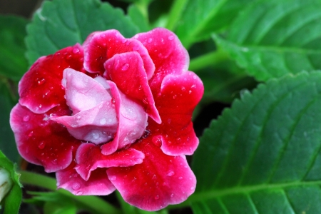 Red Gloxinia flower in its leaf background Stock Photo - 13951327