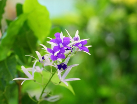 The portrait of  Petrea volubilis L   or  Purple Wreath  Stock Photo