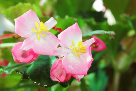 Close up of pink Begonia flower blooming in the garden photo