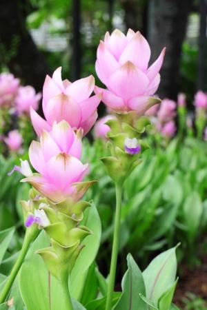 Blooming curcuma  Curcuma alismatifolia  in the garden in Thailand Stock Photo - 14077210
