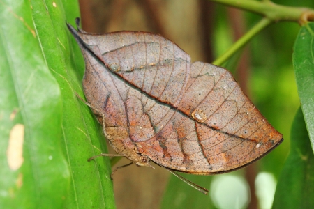 The  Kallima inachus  butterfly catch on the green leaf in the forest  photo