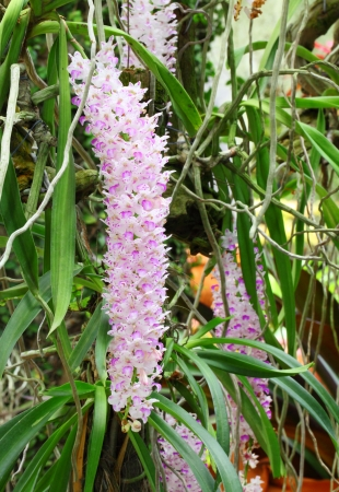 Rhynchostylis retusa  orchid blooming in Thailand  photo