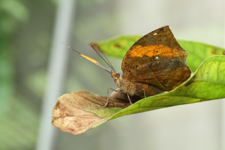 The  Kallima inachus  butterfly catch on the green leaf   photo