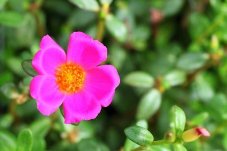 Very small Common Purslane blooming  photo