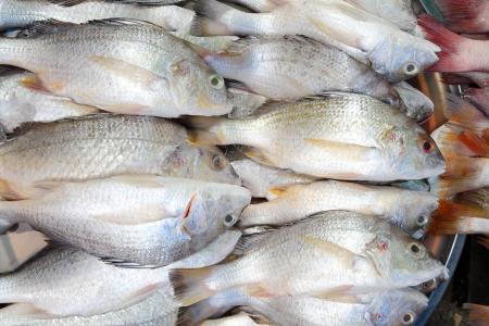 grunt: Lined Silver Grunt fish or Pomadasys hasta  Bloch