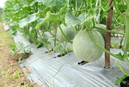 Melons farm at Korkret , Nontaburi , Thailand