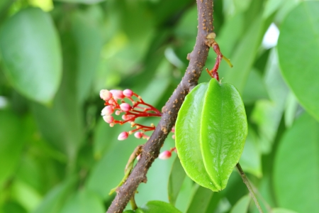 Young star fruit or Carambola fruit on the tree and its flower  photo