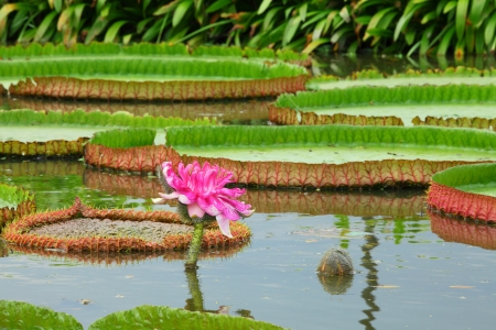 The  Victoria waterlily - the largest water lily in the world