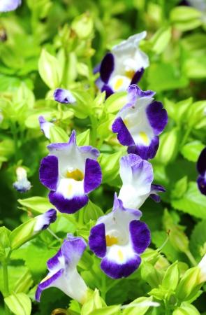 Close up of violet Torenia flower