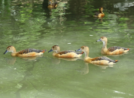 dead duck: Lesser whistling duck group are swimming in the pool in Thailand Stock Photo