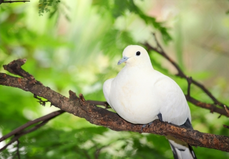 white perch: Pied Imperial Pigeon bird catch and relax on the tree Stock Photo