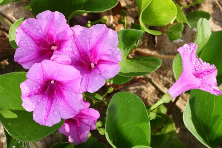 The   Ipomoea pes-caprae  are blooming on the beach in the morning Stock Photo