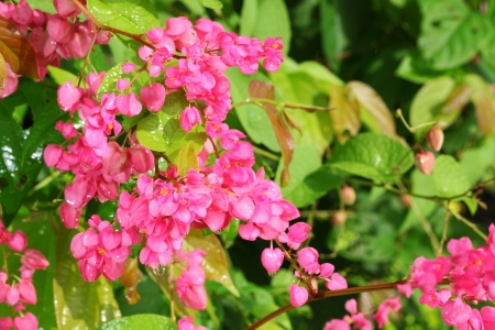 The close up of Coral Vine or  Antigonon leptopus Hook flower Stock Photo - 15324103