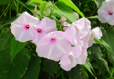 The Bush Morning Glory flower or Ipomoea Carnea Jacq flower after the rain Stock Photo - 15324137