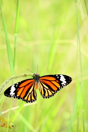 Monarch butterfly is joying with his food with grass background photo