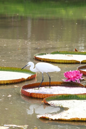 Egret is hunting on the Victoria waterlily leaf and its flower on background photo