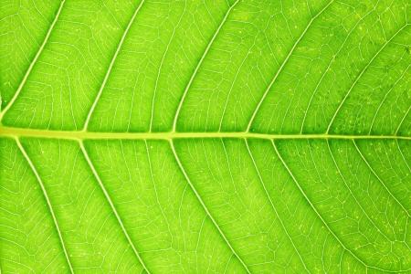 peepal tree: The close up of Bodhi or Peepal Leaf , Sacred Tree for Hindus and Buddhist