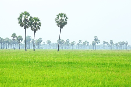 Asian Palmyra palm or Sugar palm with rice field foreground in Thailand photo